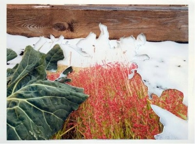Work on paper by artist Stephanie A. Lindquist, Kohlrabi and Common Sheep Sorrel (Europe)